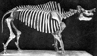 Megacerops - Mounted skeleton, AMNH