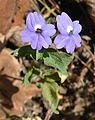 Browallia americana - Flickr - Dick Culbert.jpg