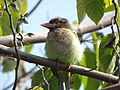 Brown-headed Barbet - Megalaima zeylanica - DSC04477.jpg