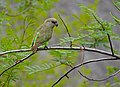 Brown-headed Parrot (Poicephalus cryptoxanthus) (11688946544).jpg