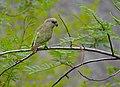 Brown-headed Parrot (Poicephalus cryptoxanthus) (11688946544).jpg