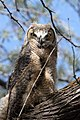 Bubo virginianus -near Tule Lake National Wildlife Refuge, Oregan, USA -juvenile-8 (3).jpg