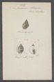 Buccinum thersites - - Print - Iconographia Zoologica - Special Collections University of Amsterdam - UBAINV0274 085 07 0017.tif