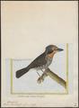 Bucco tamatia - 1700-1880 - Print - Iconographia Zoologica - Special Collections University of Amsterdam - UBA01 IZ16800001.tif