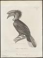 Buceros atratus - 1700-1880 - Print - Iconographia Zoologica - Special Collections University of Amsterdam - UBA01 IZ19300133.tif