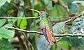 Buff-bellied Hummingbird-Sabal Palm Bird Sanctuary-TX - 2015-05-21at11-43-412 (21421266100).jpg