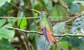 Buff-bellied hummingbird species of bird