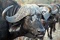 Buffalo, Kruger National Park, South Africa (14986972455).jpg