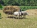 Bullock Cart (গোরুর গাড়ি), Rural Bengal.jpg