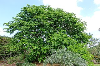 <i>Bulnesia arborea</i> species of plant