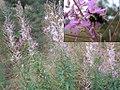 Bumblebee on fireweed (Lucasgat).jpg