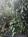 Bunch of mangoes.jpg