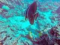 Bunte Fische auf den Malediven (29581001216).jpg