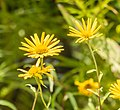 Buphthalmum salicifolium in Jardin des 5 sens (1).jpg