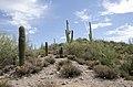 Butcher Jones Trail to Pinter's Point Loop, Tonto National Park, Saguaro Lake, Ft. McDowell, AZ - panoramio (140).jpg