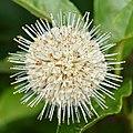 Buttonbush (Cephalanthus occidentalis) - MacGregor Point Provincial Park 01.jpg