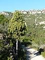 Càdec prop del barranc del Solito amb la lloma del Burgar de fons P1170116.JPG