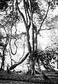 COLLECTIE TROPENMUSEUM 's Landsplantentuin Buitenzorg. De grote liaan Entada scandens TMnr 10006239.jpg