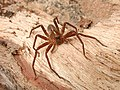 CSIRO ScienceImage 1276 Spider.jpg