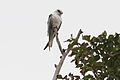 CSIRO ScienceImage 3559 Australian Blackshouldered Kite Coolart Victoria.jpg