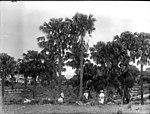 Cabbage palms, Illawarra (2414467181).jpg