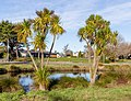 Cabbage trees along River Rd, Red Zone, Christchurch, New Zealand.jpg