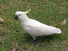 240px cacatua galerita at the victory memorial gardens