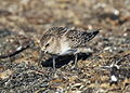 Calidris bairdii, Pillar Point Harbor, California 3.jpg