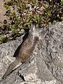 California Ground Squirrel Mist Trail.jpg