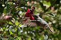 Calliope Hummingbird (male without half tail) Paton's Patagonia AZ 2017-05-17 08-57-24 (34600398622).jpg