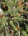 Callistemon viridiflorus 2.jpg