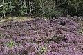 Calluna vulgaris (37370973641).jpg