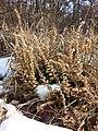 Calluna vulgaris sl24.jpg