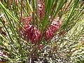 Calothamnus longissimus (leaves, flowers).JPG