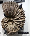 Calycoceras orientale - National Museum of Nature and Science, Tokyo - DSC06963.JPG