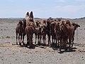 CamelMom.JPG