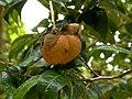 Camellia granthamiana fruit.jpg
