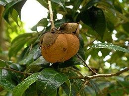 Camellia granthamiana fruit