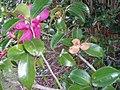 Camellia sasanqua 'Kanjiro' Thunb. (AM AK312702-1).jpg