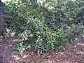 Camellia sasanqua Mine-no-yuki 0zz.jpg
