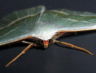 Campaea margaritata - Image: Campaea margaritata 9038