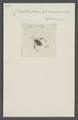 Camptischium - Print - Iconographia Zoologica - Special Collections University of Amsterdam - UBAINV0274 040 04 0038.tif