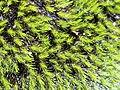 Campylopus bicolor Yeomans.jpg