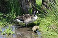 Canada goose - Branta canadensis (41257771244).jpg