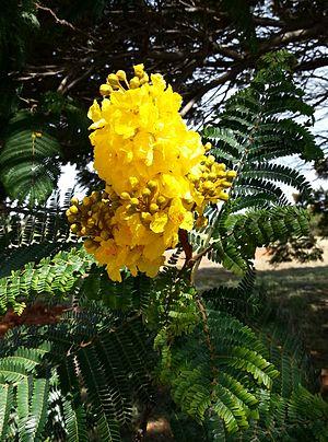 Peltophorum dubium - Close-up of flowers