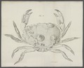 Cancer pagurus - - Print - Iconographia Zoologica - Special Collections University of Amsterdam - UBAINV0274 094 15 0003.tif