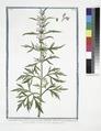 Cannabinastrum flore purpurascente, Cannabis Sylvestris quorundam Urticoe inertis similis. (Hemp) (NYPL b14444147-1125171).tiff