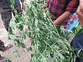 Cannabis sativa on way from Govindghat to Rishikesh at Valley of Flowers National Park - during LGFC - VOF 2019 (9).jpg