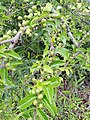 Canthium coromandelicum vijayanrajapuram.jpg
