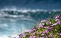 Cape marguerite flowers (Dimorphotheca ecklonis) with a breaking wave in the background, Terceira Island, Azores, Portugal (PPL1-Corrected) julesvernex2.jpg